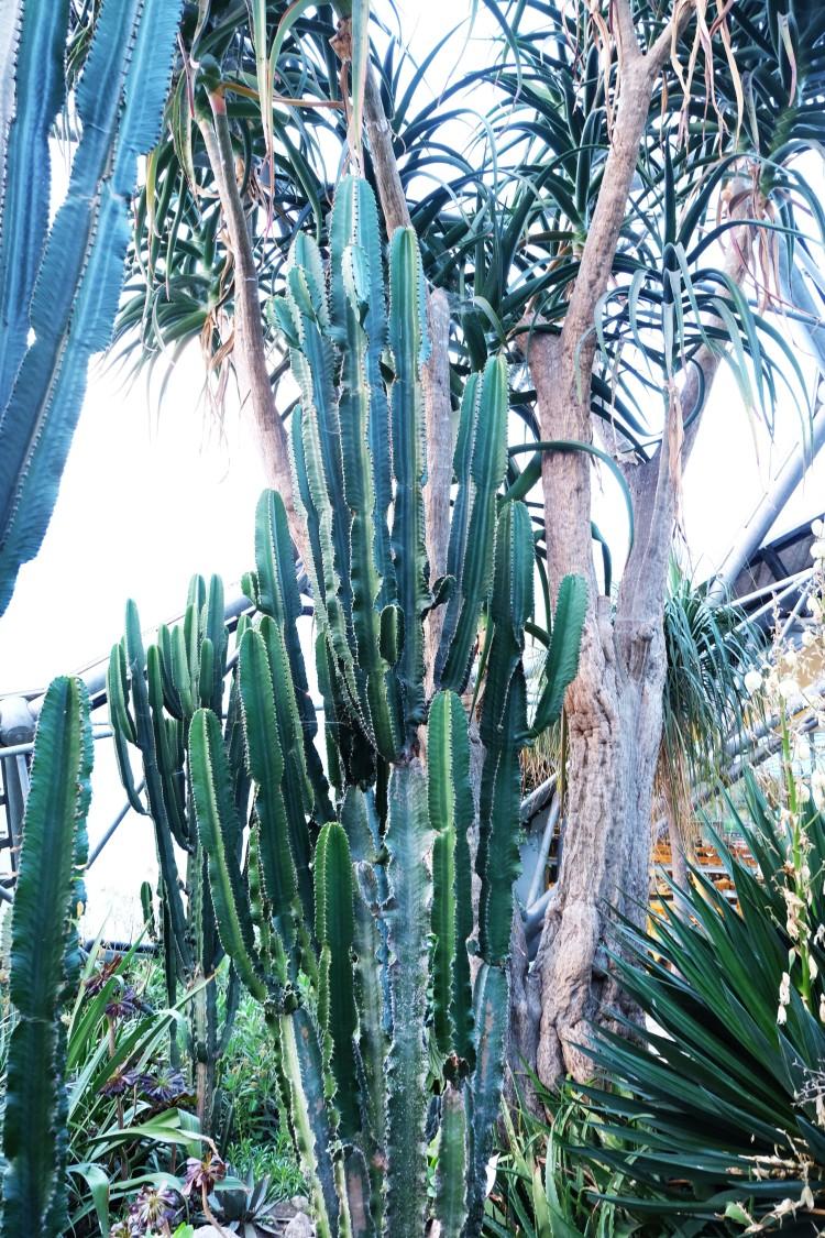 big-cactus