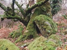 gnarled, mossy trees on Dartmoor
